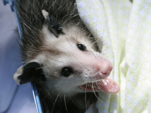 Atlanta Opossum Removal Services