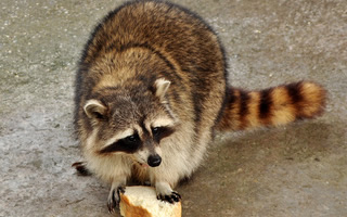 Raccoon Trapping and Removal in Atlanta