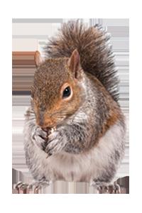 Atlanta Squirrel Trapping And Removal Squirrel Control