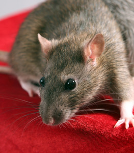 Georgia Wildlife Removal Signs Indicating Rats Have Infested
